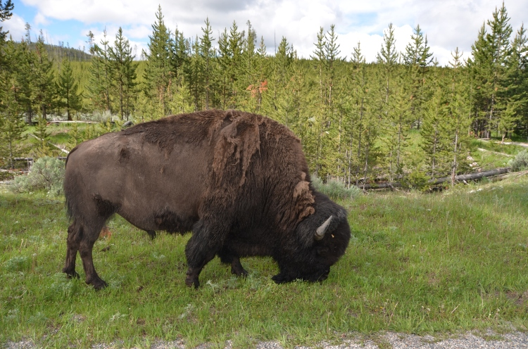 American bison!